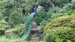 庭園には孔雀が遊んでいます