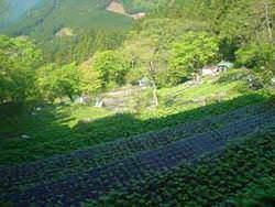 ワサビ巻は、この畑のワサビの茎を巻きます。