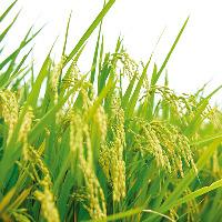 釜飯には食味ランキング17年連続特A受賞のはえぬき米を使用