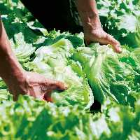 契約農家から仕入れるレタスは甘みたっぷり新鮮!特製サラダで!