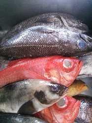 全国提携漁港から入荷した産直鮮魚。珍しい魚もあります。