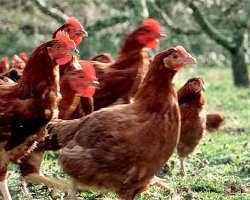 【朝挽き鶏】 専用飼料で育てられた伊達鶏は柔らかでジューシー