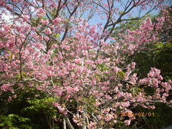 本部町の寒緋桜です。1月が見頃です。
