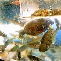 田崎市場より仕入れる新鮮な魚はどれも絶品!!