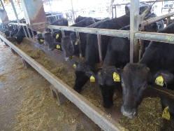 鹿屋市で黒毛和牛を育てています。
