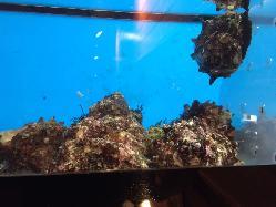 重富漁港に水揚げされる新鮮な魚介類を水槽にいれて料理!