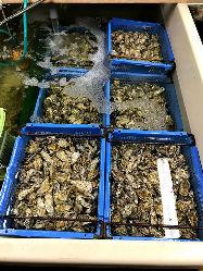 仕入れ・妥協無、牡蠣小屋はちがめの漁師が育てた逸品。