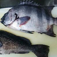 【厳選鮮魚】 産地直送のその日入った新鮮鮮魚を召し上がれ!