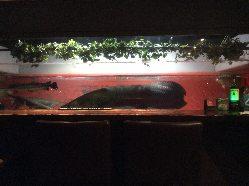 2.5mの古代魚ピラルクー