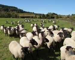 【由仁町の自社牧場】 牧草と自家配合飼料飼育の純血サフォーク
