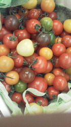 トマトがますますカラフルに~♪