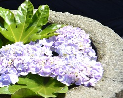 中庭の石臼に紫陽花
