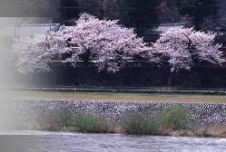 金沢の中心を流れる犀川のほとり。春には桜を眺めながら・・・。