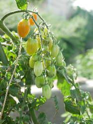 自家菜園のお野菜を中心に、旬の岡山のお野菜をご堪能下さい。